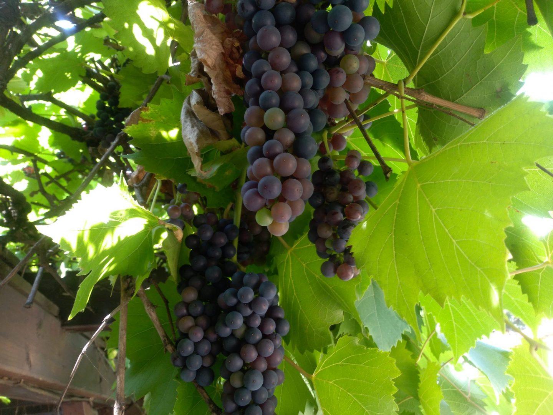 Weintrauben blau